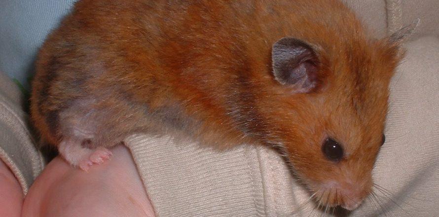 Hammy, an unusual hamster   Pete the Vet