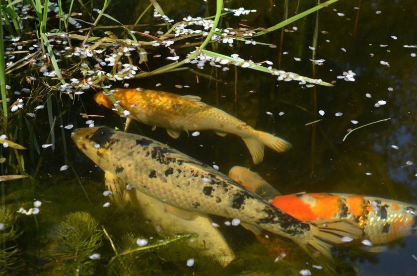 How to keep fish successfully pete the vet for Keeping koi carp in a pond