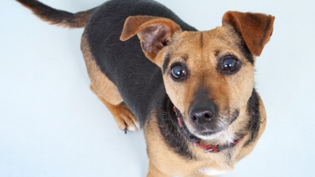 Kiko is a cross bred terrier who goes on TV regularly with Pete the Vet