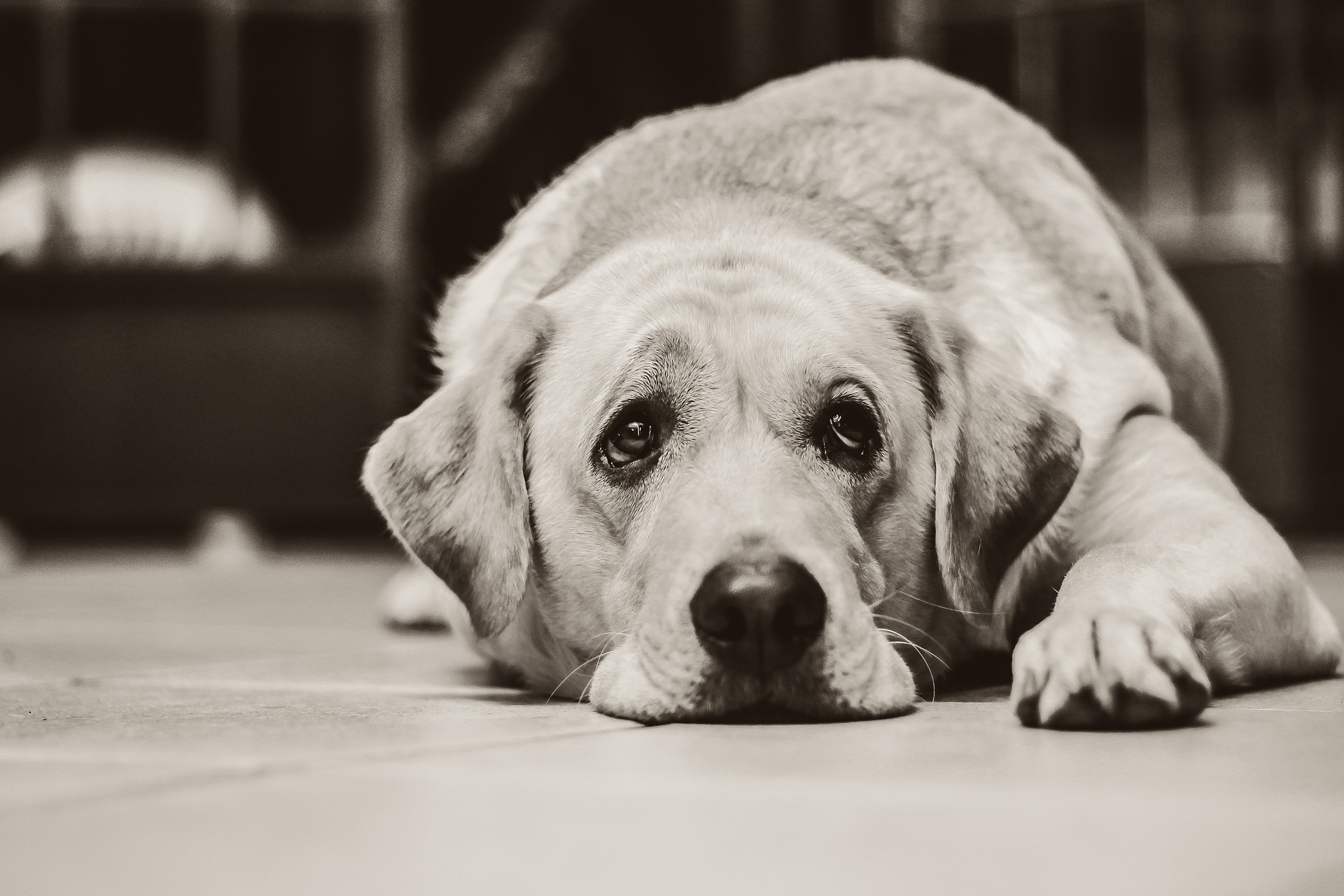 Can Dogs Become Depressed