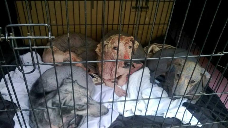These unfortunate dogs were rescued by Tipp Off Animal Rescue