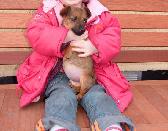 Tilly A 12 Week Old Jack Russell Terrier Puppy Had A Swollen