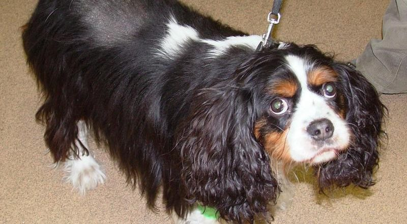 alfie a two year old cavalier king charles spaniel who had changed