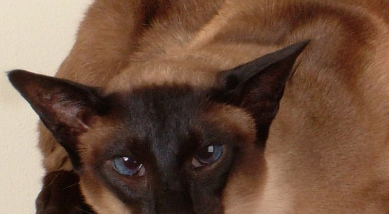 jasper an 8 year old siamese cat who is suffering with a dental