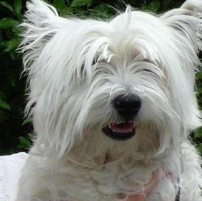 fred a seven year old west highland white terrier suffers from a
