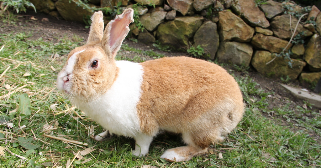 Gloria, the myxomatosis survivor, lives a free range life outside but sleeps in a heated hutch