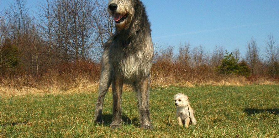 Native Dog Breeds Of Ireland Pete The Vet
