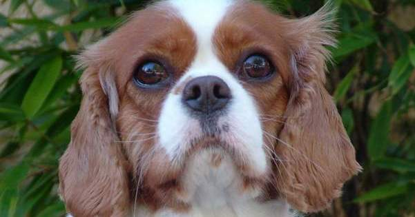 Charley a 3 year old female cavalier king charles spaniel who death by chocolate may be a popular name for sumptuous desserts in restaurants but to my knowledge a human has never died after eating too much of the thecheapjerseys Images