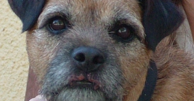 Woody, a 4 year old male Border Terrier who developed sore lips for