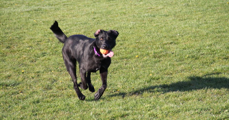 Finzi will happily chase her Chuckit ball until she is utterly exhausted
