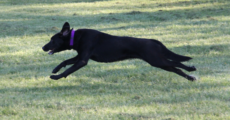 Finzi sprinting after her Chuckit ball