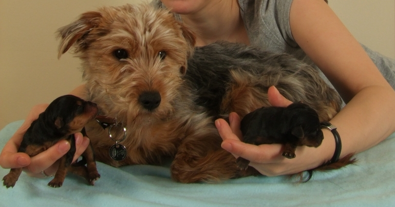 A Terrier who had an unplanned pregnancy