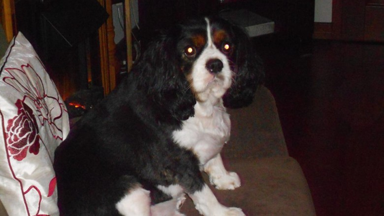 Paddy is an overweight Cavalier King Charles Spaniel.