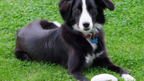 Collies are the most common breed to bite humans in Ireland