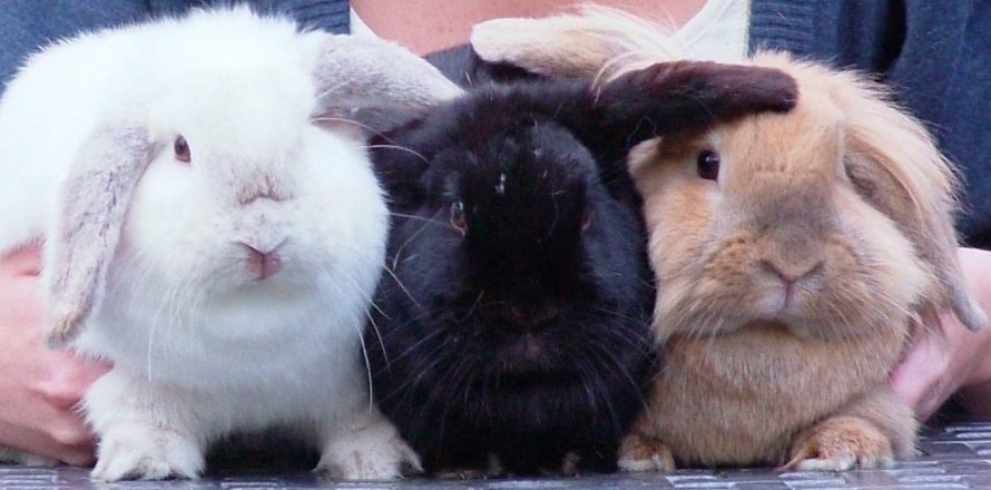 Rabbit Awareness Week runs during this week
