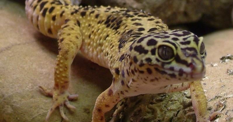 a collection of geckos