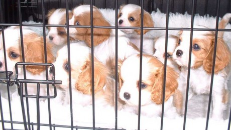 How much should vets be expected to do if they suspect puppy farming?