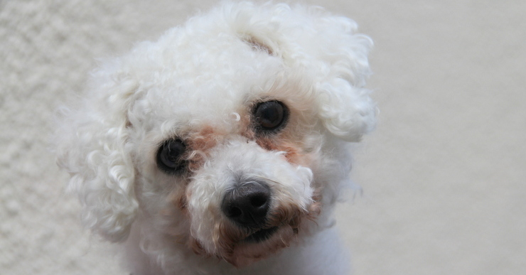 lucy a six year old bichon frise who suffers from reverse sneezing
