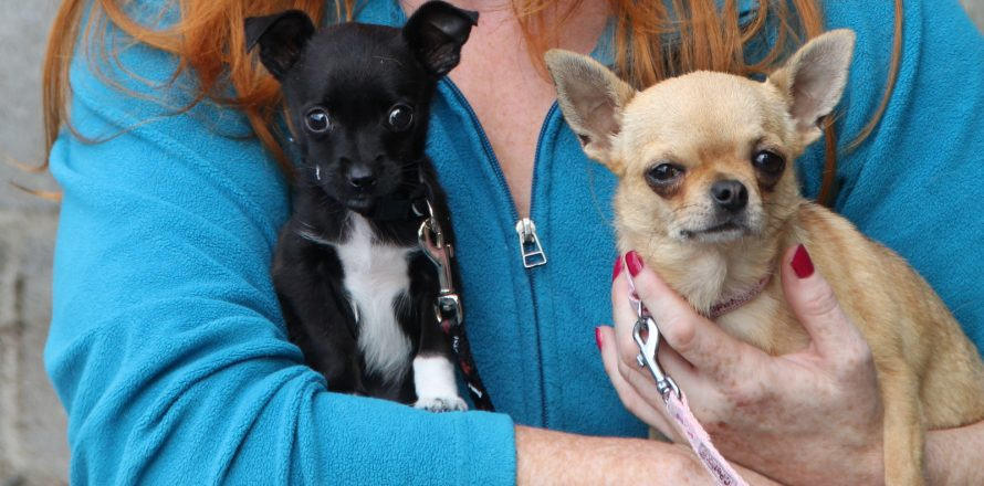 Ellie and Dexter are Chihuahuas who were bought online | Pete the Vet