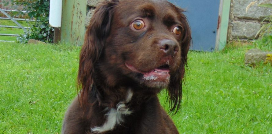 2 Year Male Labrador Cross Spaniel Dog For: Boris Is An Energetic Springer Spaniel/Labrador Cross