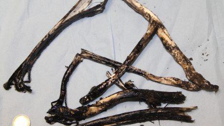 Ink Cap mushroom stems from the dogs' garden