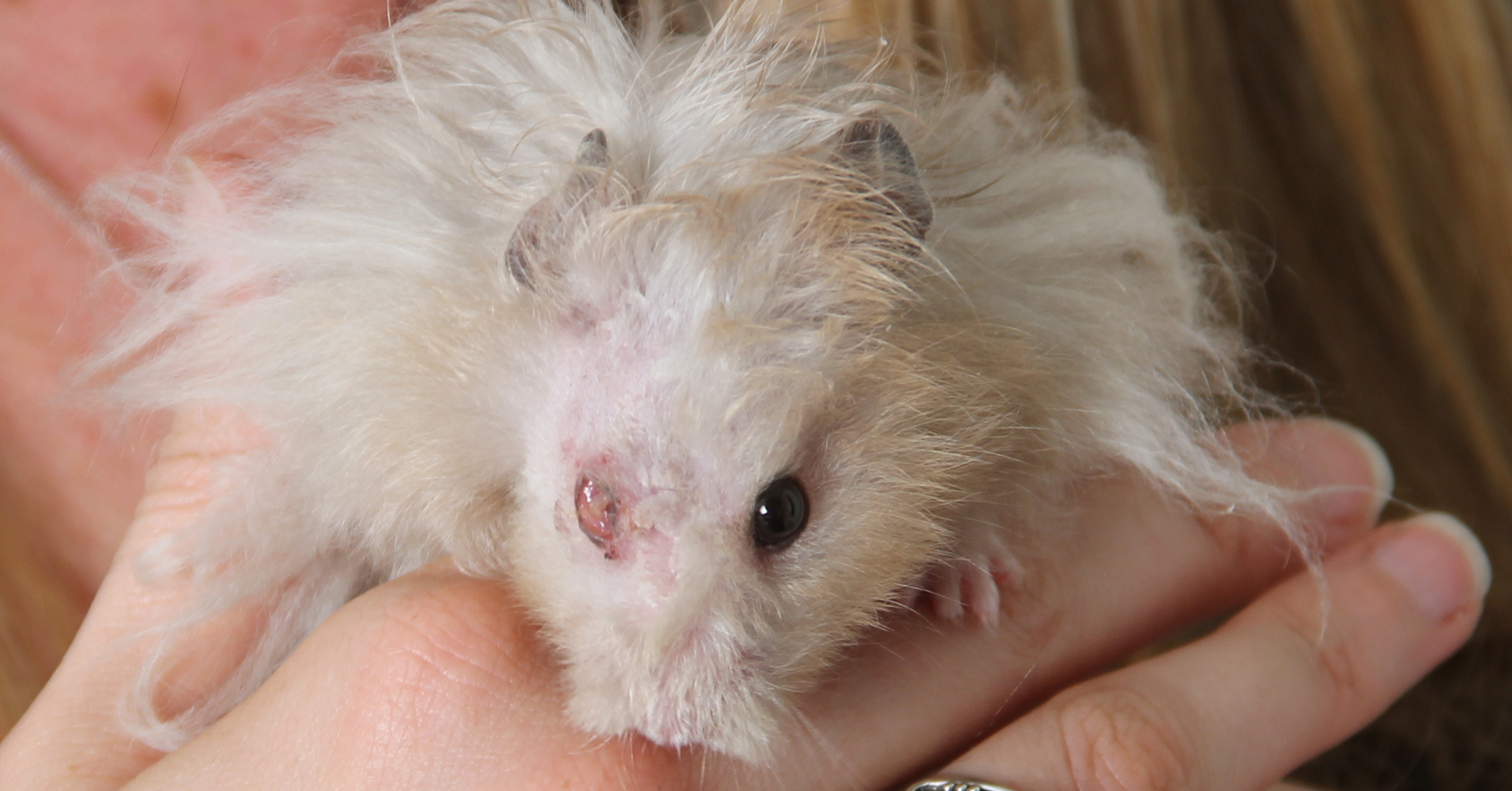 theo the hamster had a damaged eye