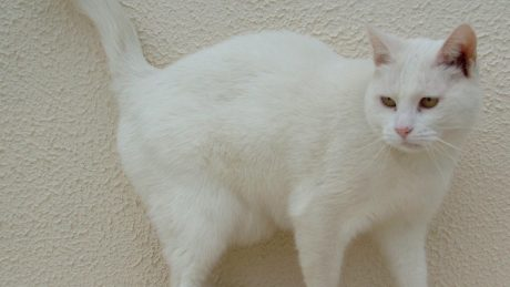 white cats have sunburnt ears that can go on to be cancer