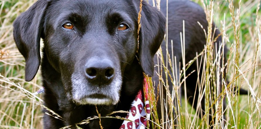 Can dogs get hay fever? Or why else might a dog have streaming eyes? | Pete  the Vet