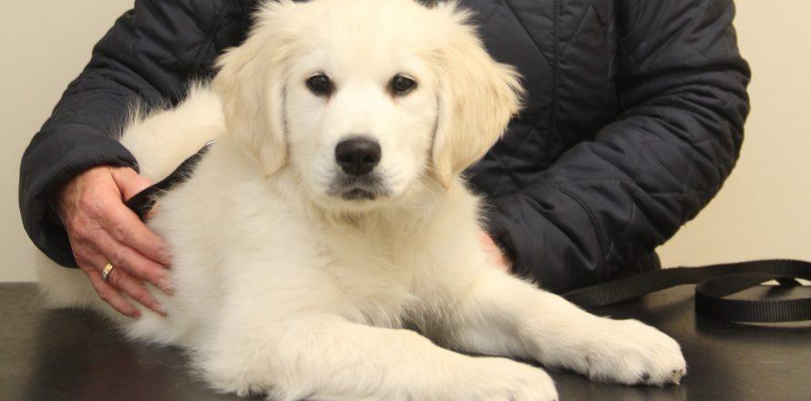 Freddie the Golden Retriever puppy had a problem | Pete the Vet