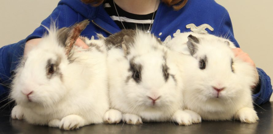 Flopsy, Mopsy and Cottontail are sisters | Pete the Vet